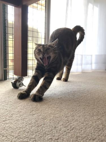 あくびがホラーな猫