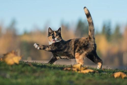 野外で遊ぶサビ猫