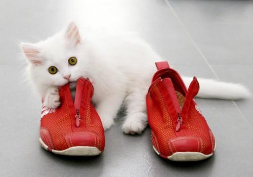 赤い靴を噛む白い子猫