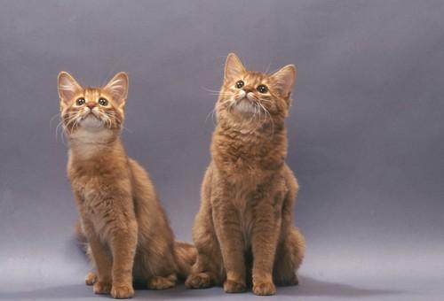 並んで座って上を見つめる二匹のソマリ
