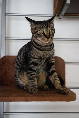 キャットウォークの上でイカ耳をしている猫