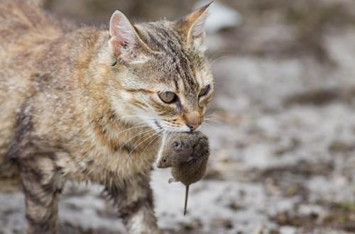 ネズミを捕る猫