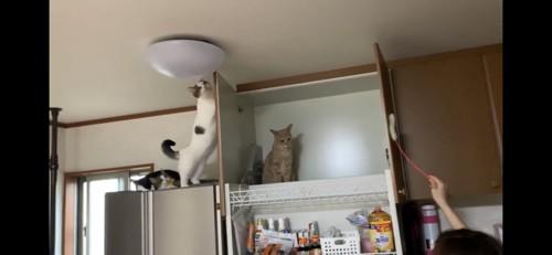ねこじゃらしと棚の上にいる猫