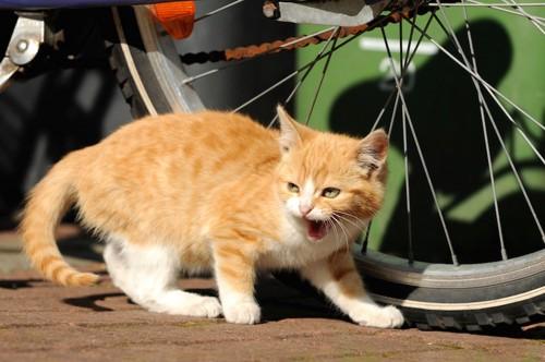 シャーと威嚇する猫