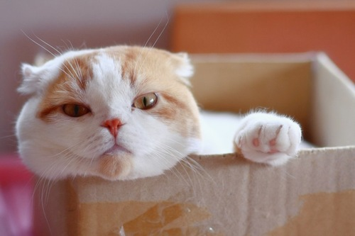 ダンボール箱の中からこちらを見つめる猫
