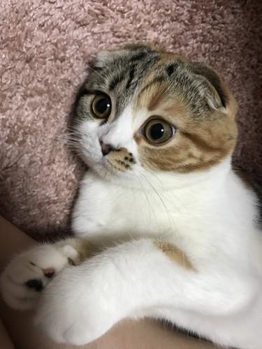 まんまるな顔の猫