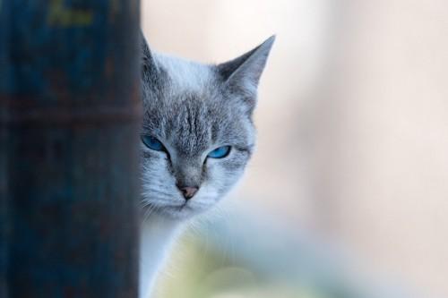 陰から睨む猫