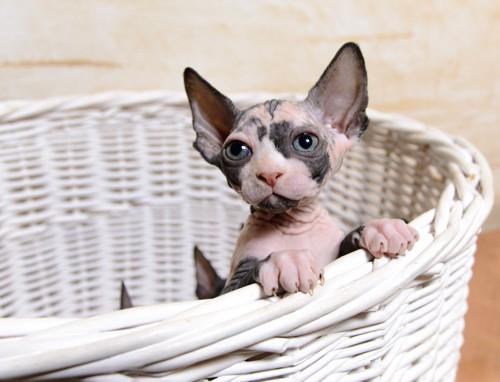 籠に入っているスフィンクスの子猫