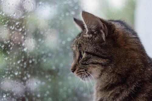 雨の日窓の外を見る猫