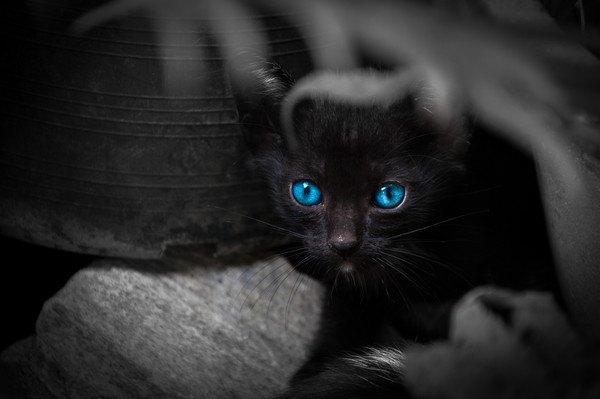 青い目の黒猫