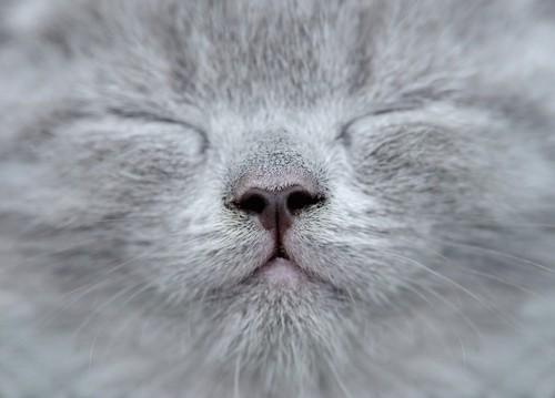匂いを嗅ぐ灰色の猫