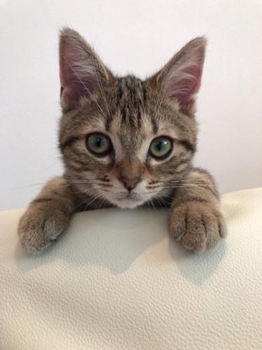 ソファーに手をかけてこちらを見つめる猫