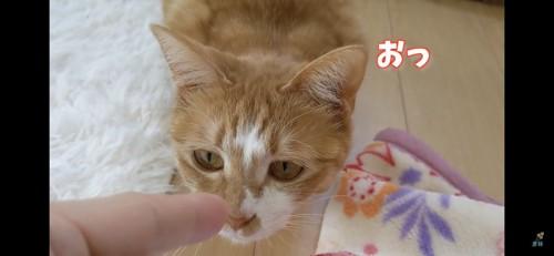 指の匂いを嗅ぐ猫