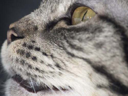 横を向いた猫のマズルのアップ