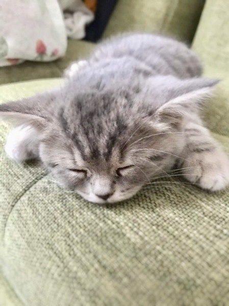 ソファに顔を付けて寝る子猫