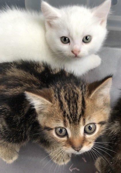 キジトラの兄弟と白猫の子猫
