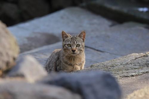 石の上に座るキジトラ猫