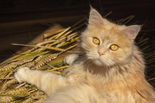穀物の上で振り返る猫