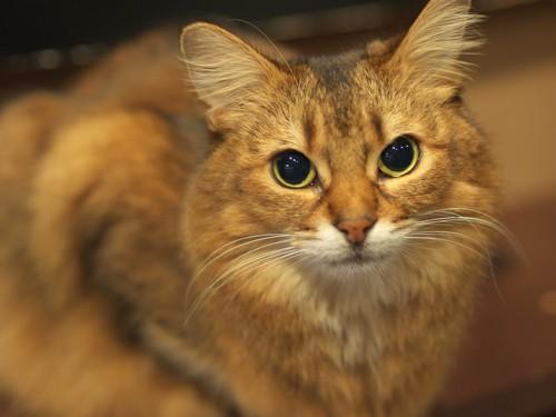 ひげ袋が小さい猫