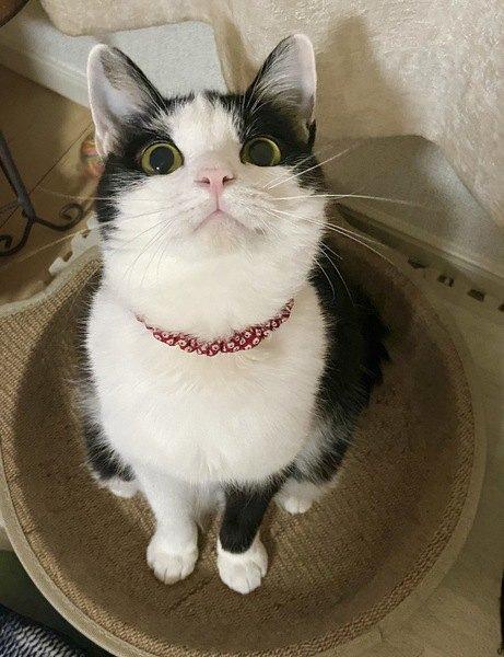 お座りして見上げる猫