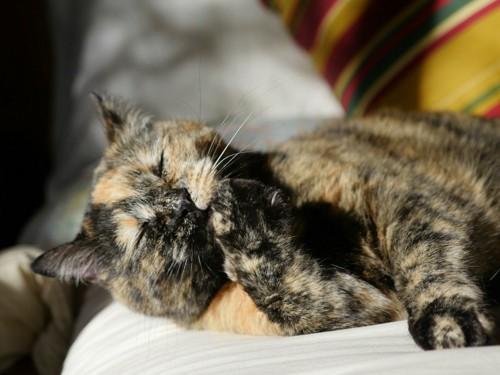 横たわって目をつぶりお手入れ中の猫