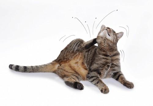 体を掻く猫と飛び散るノミ