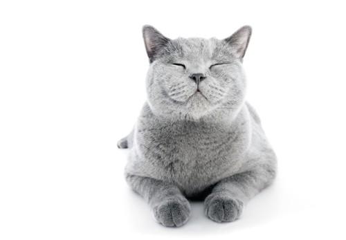 目を閉じたグレーの猫