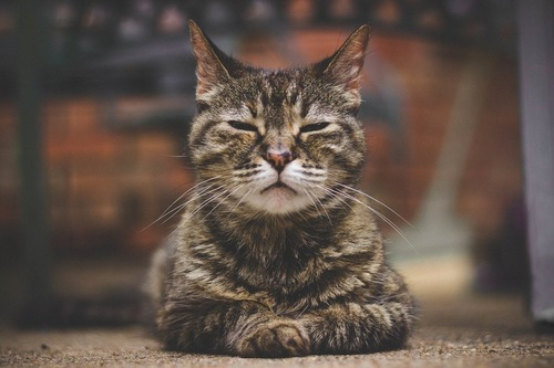 目を閉じた猫