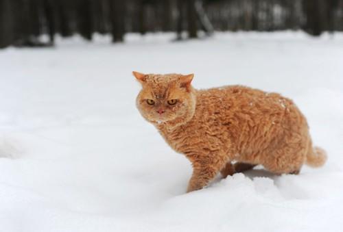 雪の中のセルカークレックス
