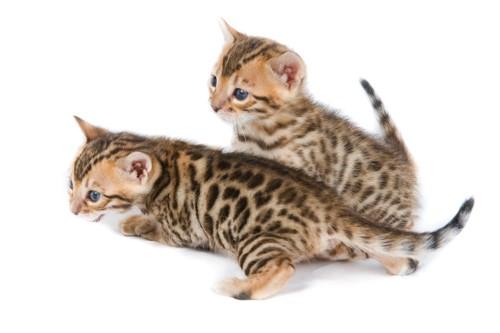 ベンガルの子猫2匹
