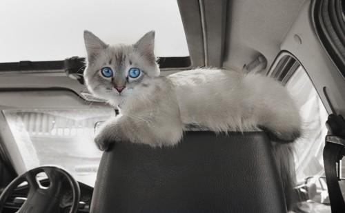 運転席の猫