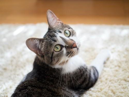 振り向いてこちらを見上げる猫