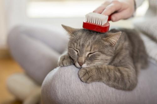 頭にブラシを乗せる猫の写真
