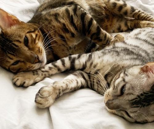 布団に寝るベンガル兄弟