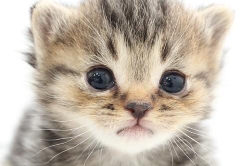 つぶらな瞳の可愛すぎる子猫アップ