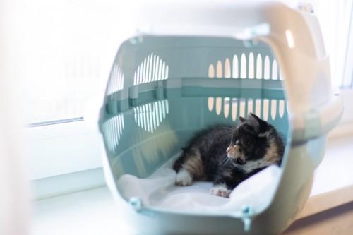 キャリーでリラックス中の子猫
