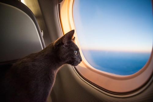 飛行機の窓から外を見る猫