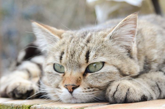 伏せて考える猫