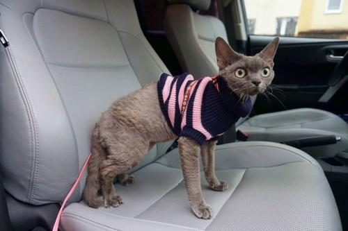 服を着てリードをつけて車の座席に立つ猫