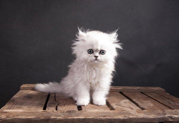 チンチラ子猫