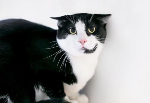耳をふせる白黒の猫