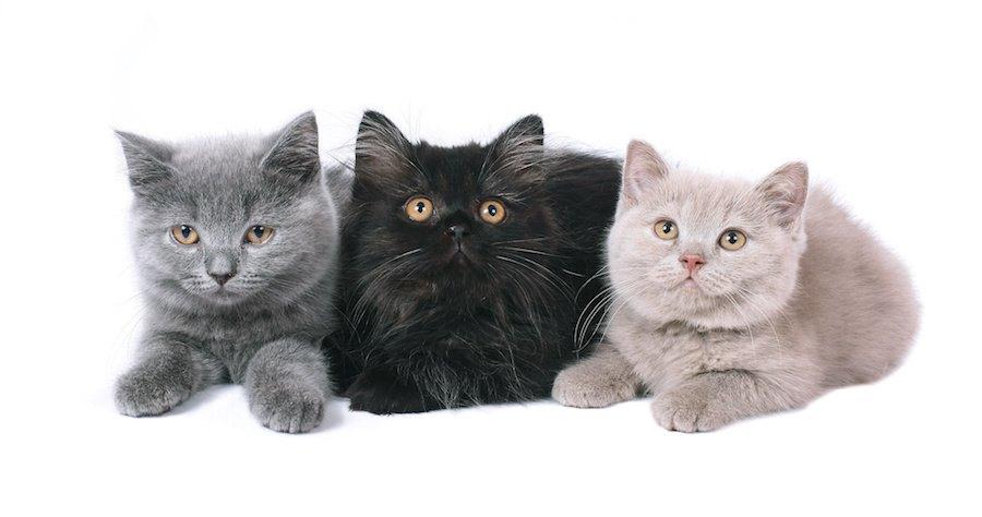 並んで伏せている三匹のブリティッシュショートヘア