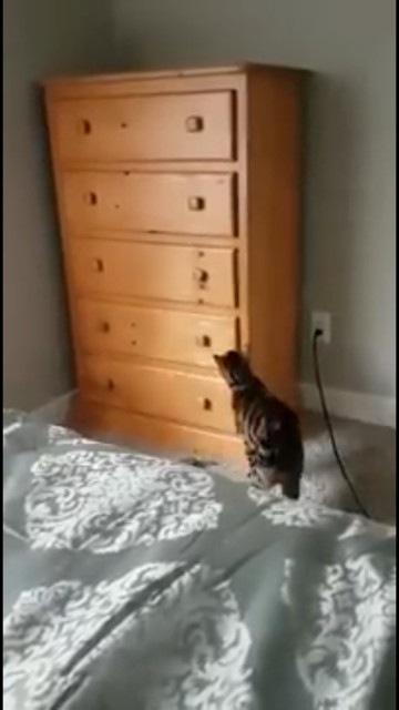 タンスに近づく猫