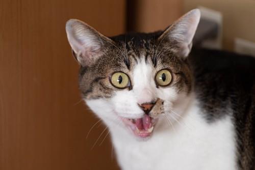 驚いたような表情で鳴く猫