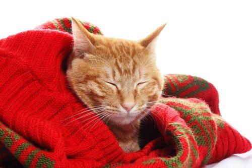 飼い主のセーターの上で眠っている猫