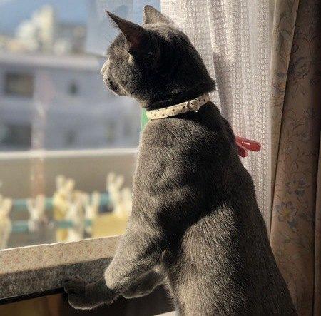 窓の外を見るロシアンブルー
