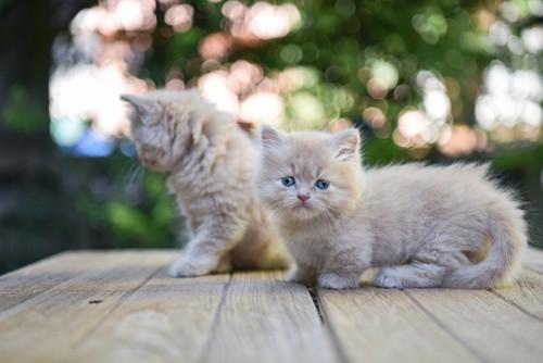 縞模様のマンチカンの子猫