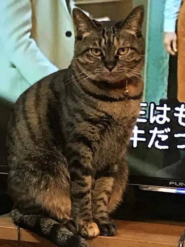 TV画面の前を陣取る猫