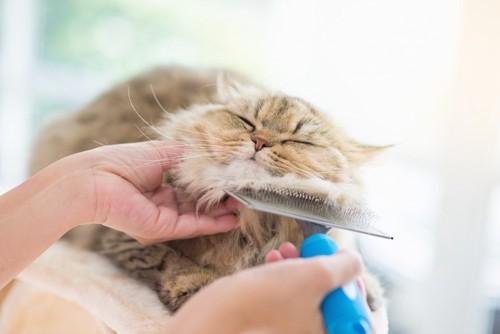 顔をブラッシングされている猫
