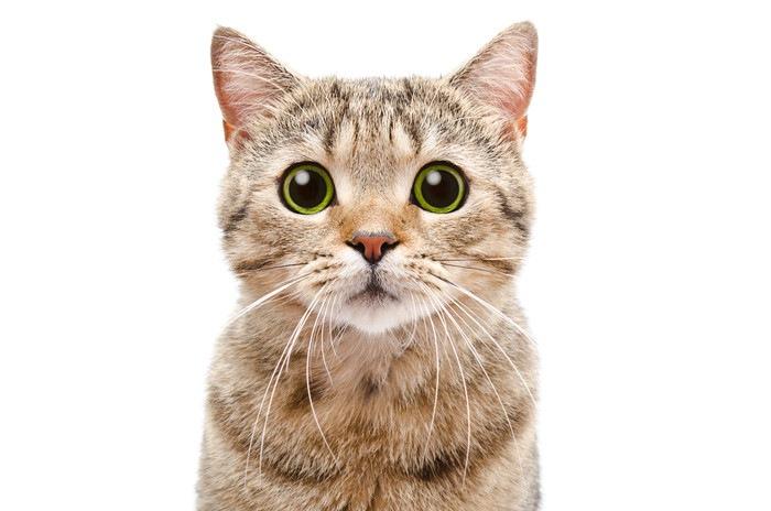 正面を向いている猫の顔